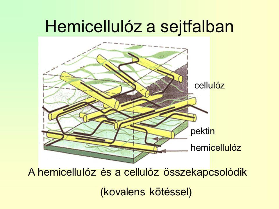 Hemicellulóz a sejtfalban cellulóz pektin hemicellulóz A hemicellulóz és a cellulóz összekapcsolódik (kovalens kötéssel)