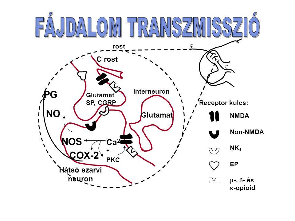 PKC Ca 2 + NOS COX-2 NO PG Glutamat SP, CGRP Glutamat Interneuron C rost Hátsó szarvi neuron Receptor kulcs: NMDA Non-NMDA NK 1 EP  -,  - és  -opioid rost