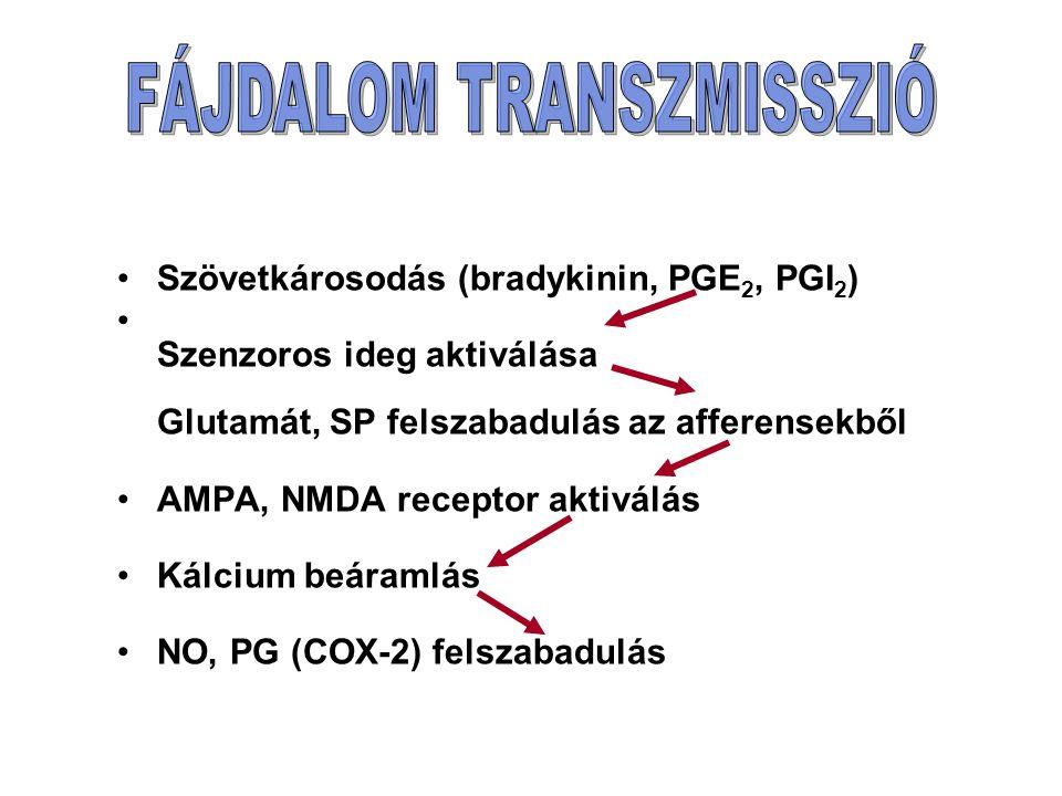 Szövetkárosodás (bradykinin, PGE 2, PGI 2 ) Szenzoros ideg aktiválása Glutamát, SP felszabadulás az afferensekből AMPA, NMDA receptor aktiválás Kálcium beáramlás NO, PG (COX-2) felszabadulás