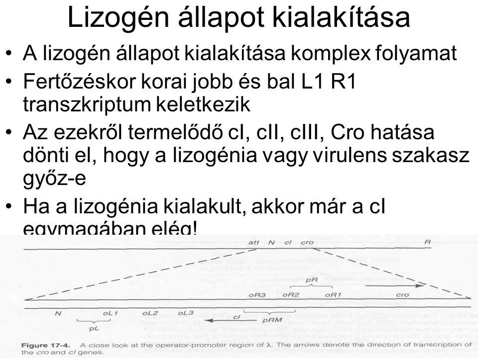 Lizogén állapot kialakítása A lizogén állapot kialakítása komplex folyamat Fertőzéskor korai jobb és bal L1 R1 transzkriptum keletkezik Az ezekről termelődő cI, cII, cIII, Cro hatása dönti el, hogy a lizogénia vagy virulens szakasz győz-e Ha a lizogénia kialakult, akkor már a cI egymagában elég!