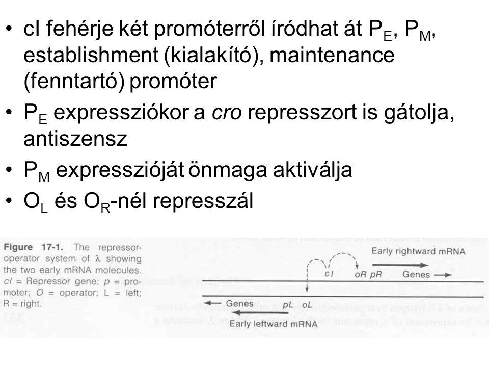 cI fehérje két promóterről íródhat át P E, P M, establishment (kialakító), maintenance (fenntartó) promóter P E expressziókor a cro represszort is gátolja, antiszensz P M expresszióját önmaga aktiválja O L és O R -nél represszál