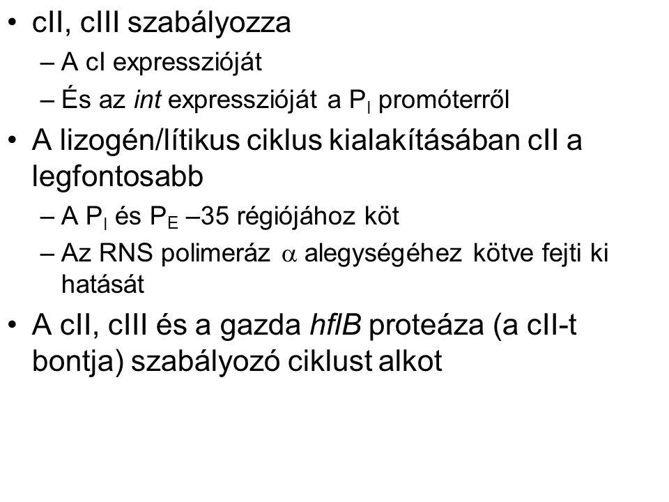 cII, cIII szabályozza –A cI expresszióját –És az int expresszióját a P I promóterről A lizogén/lítikus ciklus kialakításában cII a legfontosabb –A P I és P E –35 régiójához köt –Az RNS polimeráz  alegységéhez kötve fejti ki hatását A cII, cIII és a gazda hflB proteáza (a cII-t bontja) szabályozó ciklust alkot