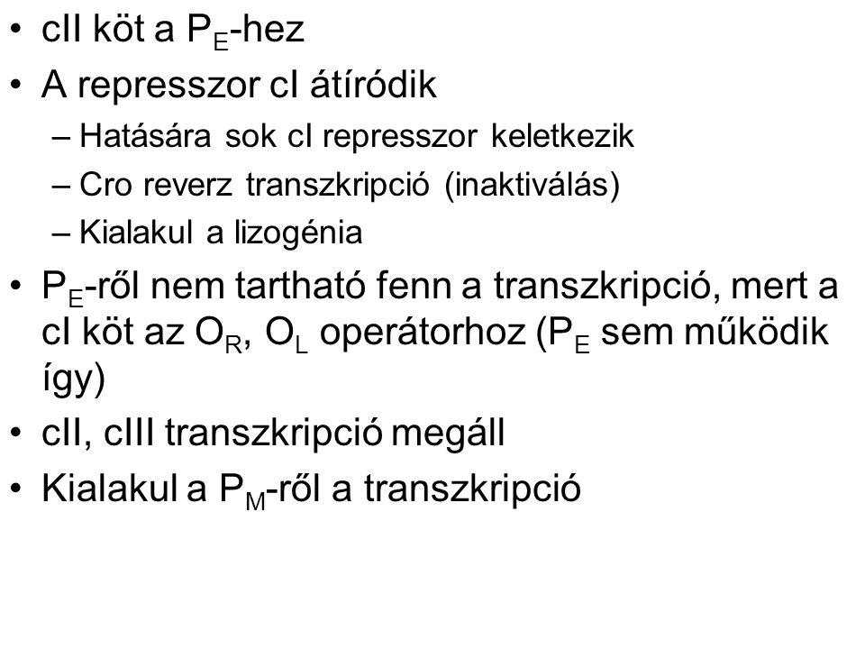 cII köt a P E -hez A represszor cI átíródik –Hatására sok cI represszor keletkezik –Cro reverz transzkripció (inaktiválás) –Kialakul a lizogénia P E -ről nem tartható fenn a transzkripció, mert a cI köt az O R, O L operátorhoz (P E sem működik így) cII, cIII transzkripció megáll Kialakul a P M -ről a transzkripció
