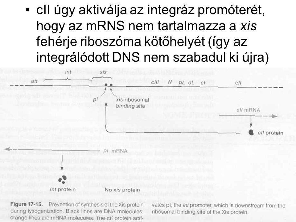 cII úgy aktiválja az integráz promóterét, hogy az mRNS nem tartalmazza a xis fehérje riboszóma kötőhelyét (így az integrálódott DNS nem szabadul ki újra)