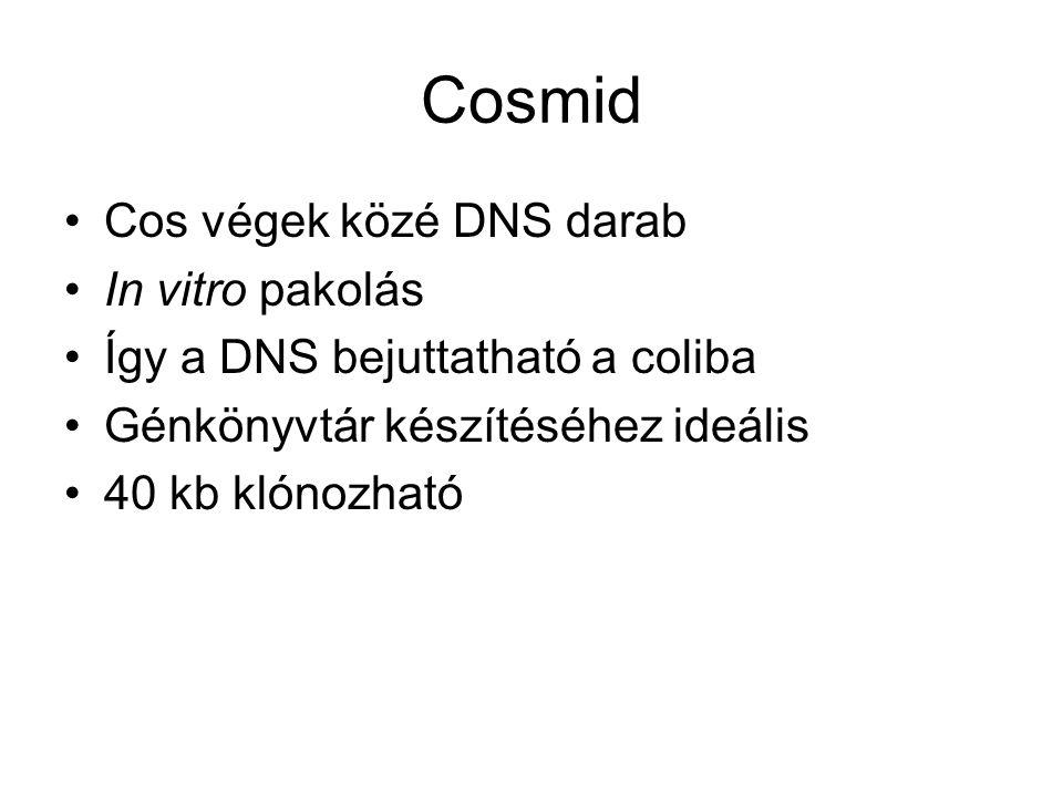 Cosmid Cos végek közé DNS darab In vitro pakolás Így a DNS bejuttatható a coliba Génkönyvtár készítéséhez ideális 40 kb klónozható