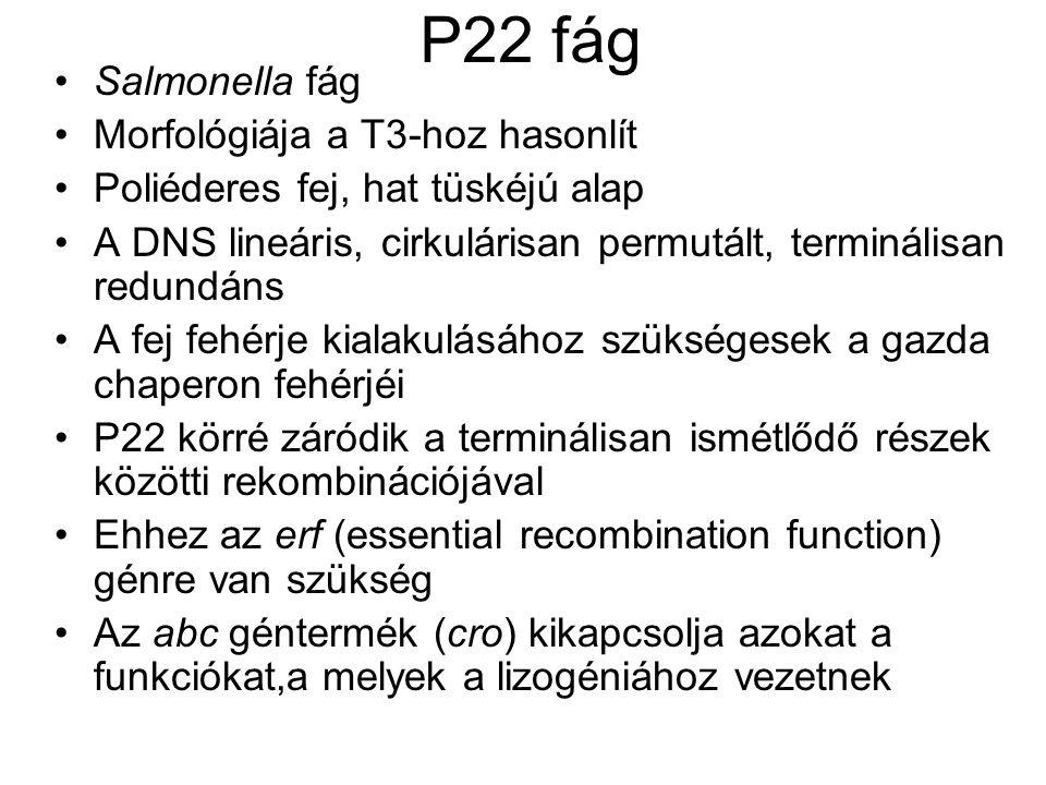 P22 fág Salmonella fág Morfológiája a T3-hoz hasonlít Poliéderes fej, hat tüskéjú alap A DNS lineáris, cirkulárisan permutált, terminálisan redundáns A fej fehérje kialakulásához szükségesek a gazda chaperon fehérjéi P22 körré záródik a terminálisan ismétlődő részek közötti rekombinációjával Ehhez az erf (essential recombination function) génre van szükség Az abc géntermék (cro) kikapcsolja azokat a funkciókat,a melyek a lizogéniához vezetnek