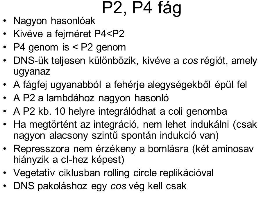 P2, P4 fág Nagyon hasonlóak Kivéve a fejméret P4<P2 P4 genom is < P2 genom DNS-ük teljesen különbözik, kivéve a cos régiót, amely ugyanaz A fágfej ugyanabból a fehérje alegységekből épül fel A P2 a lambdához nagyon hasonló A P2 kb.