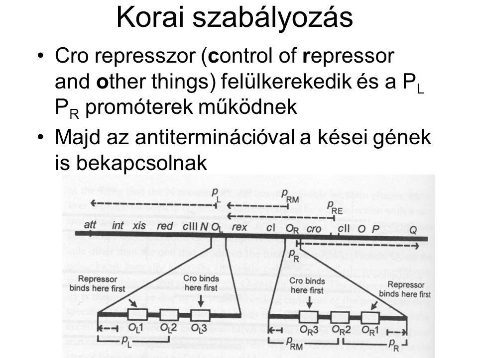 Korai szabályozás Cro represszor (control of repressor and other things) felülkerekedik és a P L P R promóterek működnek Majd az antiterminációval a kései gének is bekapcsolnak