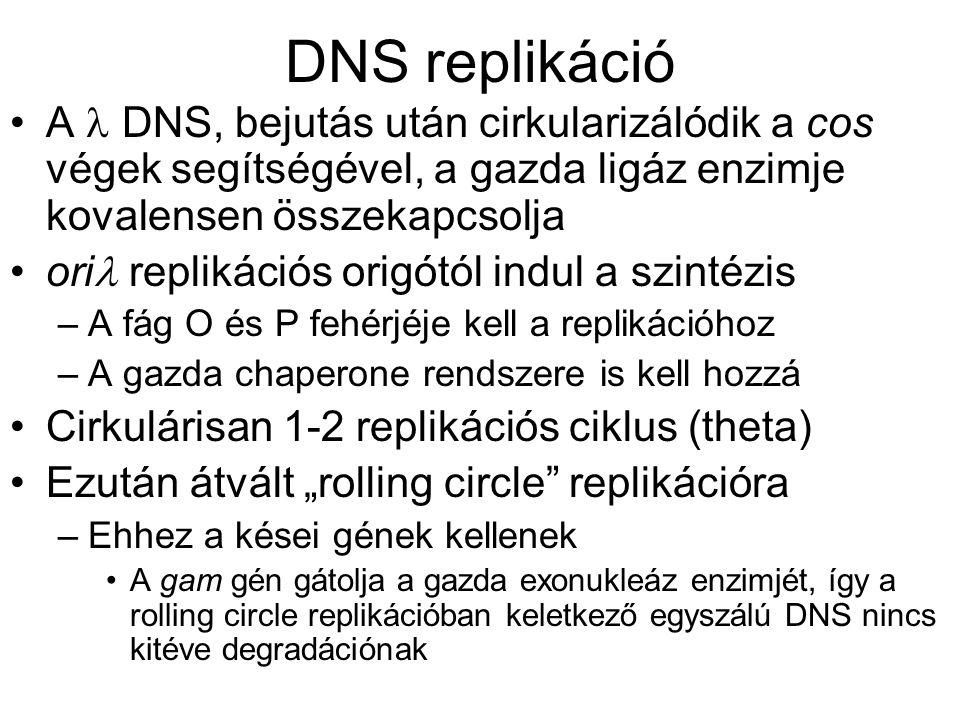 """DNS replikáció A DNS, bejutás után cirkularizálódik a cos végek segítségével, a gazda ligáz enzimje kovalensen összekapcsolja ori replikációs origótól indul a szintézis –A fág O és P fehérjéje kell a replikációhoz –A gazda chaperone rendszere is kell hozzá Cirkulárisan 1-2 replikációs ciklus (theta) Ezután átvált """"rolling circle replikációra –Ehhez a kései gének kellenek A gam gén gátolja a gazda exonukleáz enzimjét, így a rolling circle replikációban keletkező egyszálú DNS nincs kitéve degradációnak"""