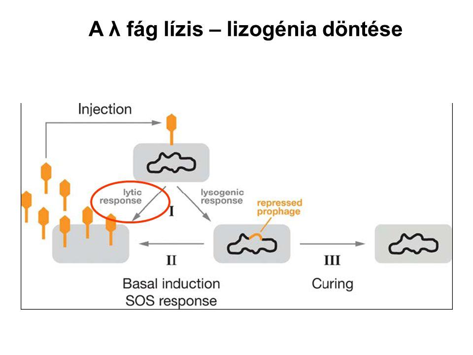 A λ fág lízis – lizogénia döntése