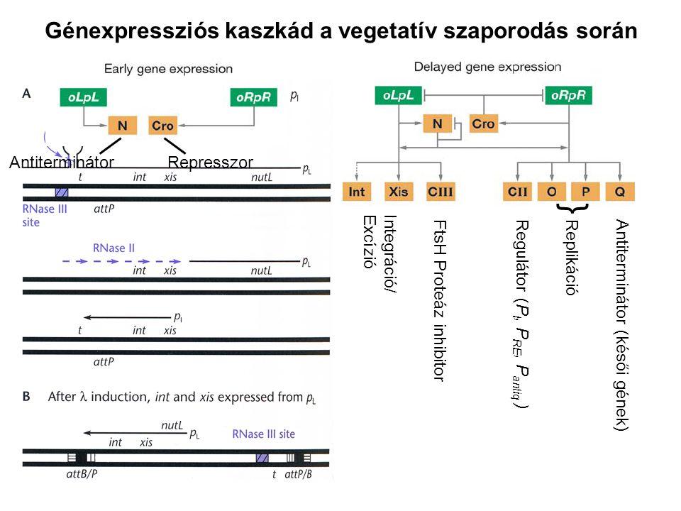 Génexpressziós kaszkád a vegetatív szaporodás során Antiterminátor Represszor Integráció/ Excízió Antiterminátor (késői gének) Replikáció Regulátor (P I, P RE, P antiq ) { FtsH Proteáz inhibitor