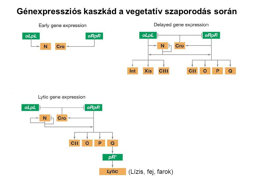Génexpressziós kaszkád a vegetatív szaporodás során (Lízis, fej, farok)