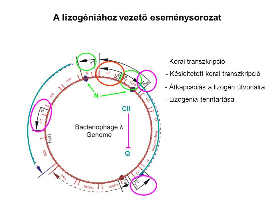 - Korai transzkripció - Késleltetett korai transzkripció A lizogéniához vezető eseménysorozat N Q CII - Átkapcsolás a lizogén útvonalra - Lizogénia fenntartása