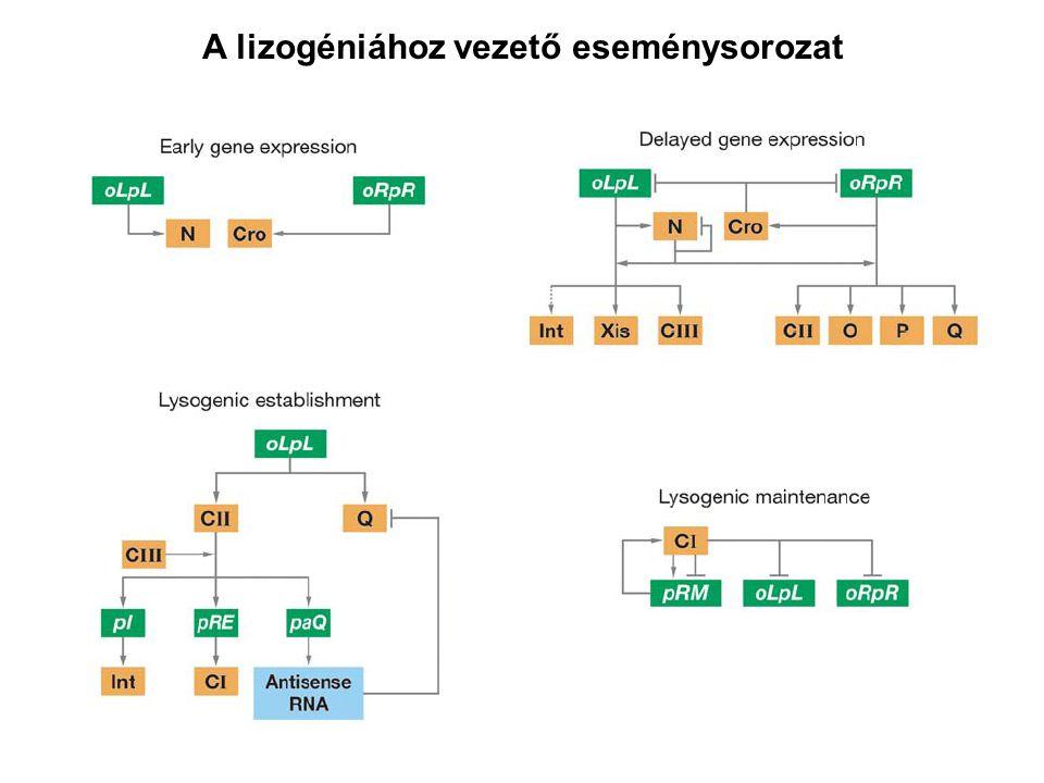 A lizogéniához vezető eseménysorozat