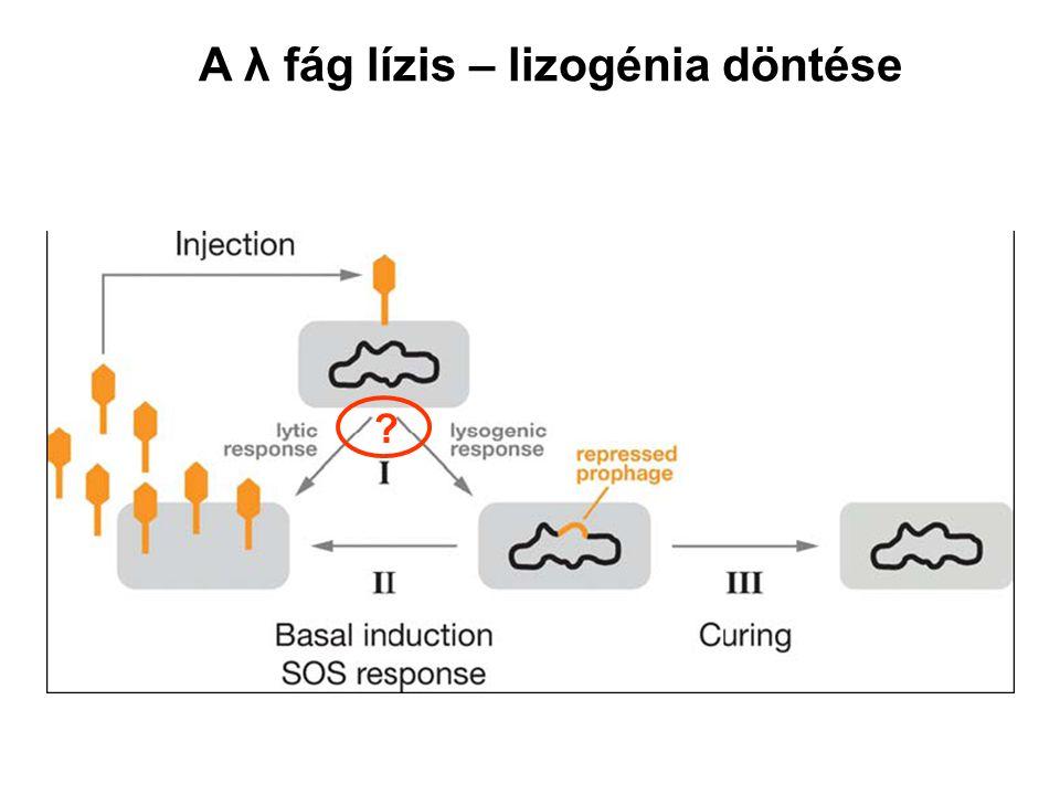 A λ fág lízis – lizogénia döntése ?