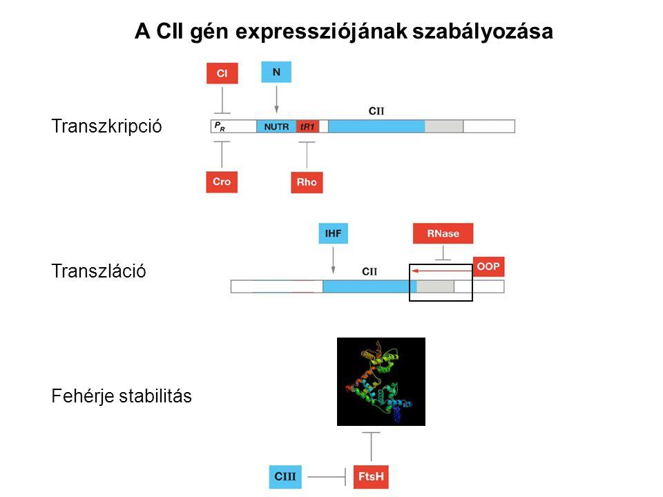 A CII gén expressziójának szabályozása Transzkripció Transzláció Fehérje stabilitás