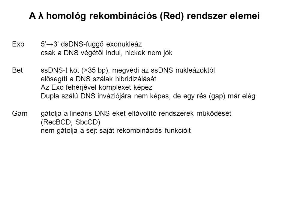 A λ homológ rekombinációs (Red) rendszer elemei Exo5'→3' dsDNS-függő exonukleáz csak a DNS végétől indul, nickek nem jók BetssDNS-t köt (>35 bp), megvédi az ssDNS nukleázoktól elősegíti a DNS szálak hibridizálását Az Exo fehérjével komplexet képez Dupla szálú DNS inváziójára nem képes, de egy rés (gap) már elég Gamgátolja a lineáris DNS-eket eltávolító rendszerek működését (RecBCD, SbcCD) nem gátolja a sejt saját rekombinációs funkcióit
