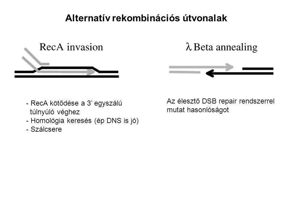 - RecA kötődése a 3' egyszálú túlnyúló véghez - Homológia keresés (ép DNS is jó) - Szálcsere Az élesztő DSB repair rendszerrel mutat hasonlóságot Alternatív rekombinációs útvonalak