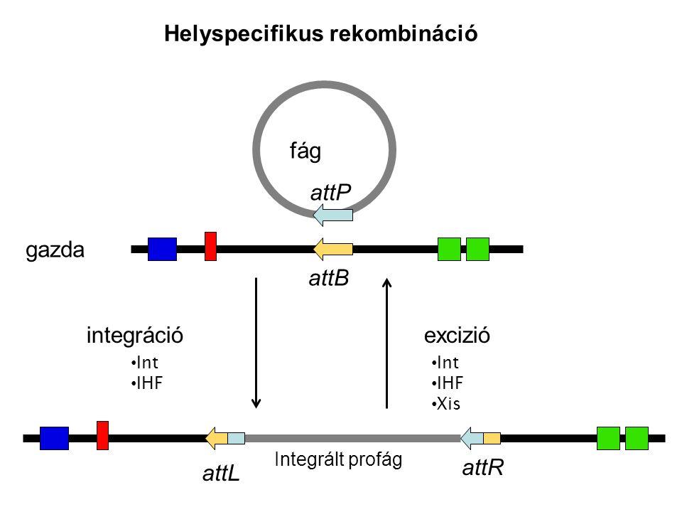 fág gazda attP attB Integrált profág integráció excizió Int IHF Int IHF Xis attL attR Helyspecifikus rekombináció