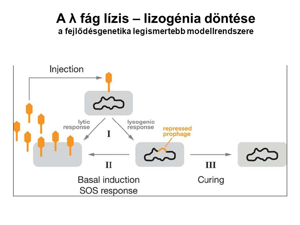 A λ fág genetikai kapcsolója A λ fág esetében a spontán átkapcsolás átlagosan 1 000 000 000 generációnként egyszer történik [CI] [Cro] DNS károsodás - SOS repair Alacsony szintű transzkripció A lizogénia kialakulására nincsen hatása!