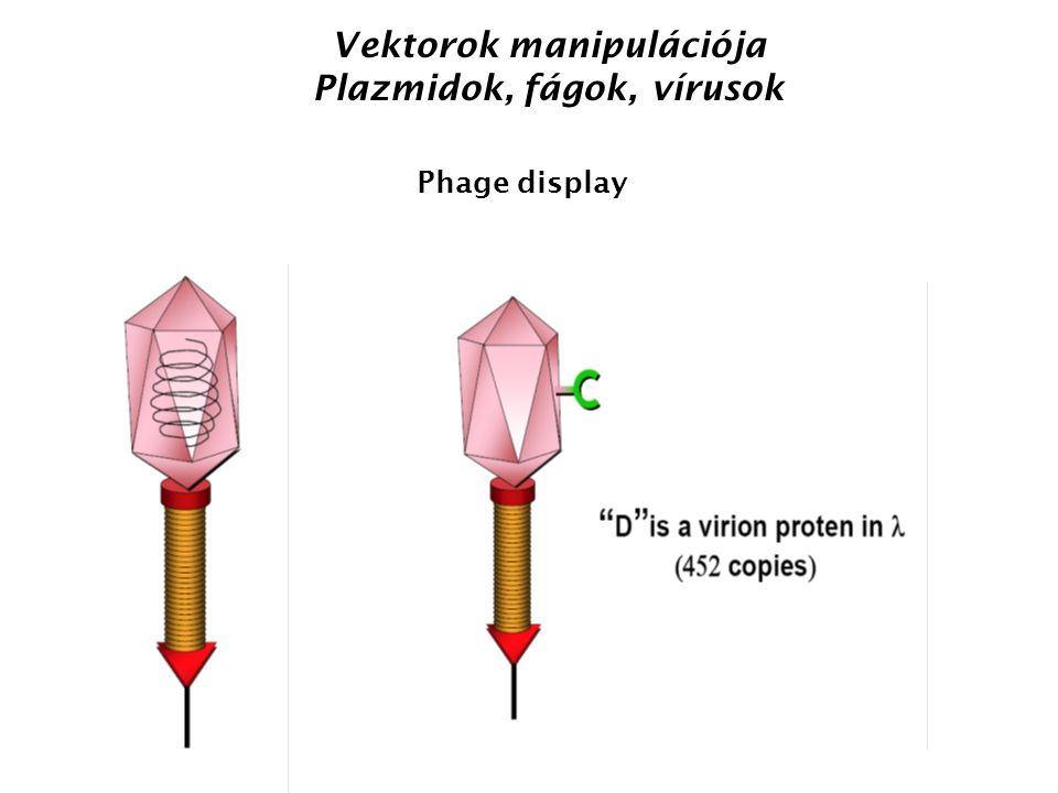 Vektorok manipulációja Plazmidok, fágok, vírusok Phage display