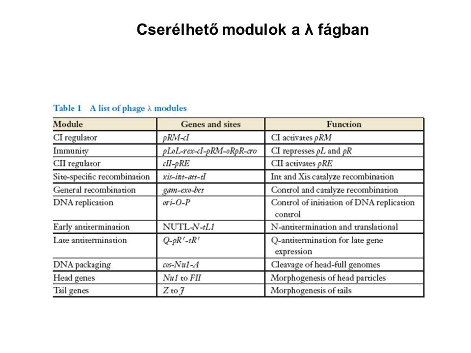 A λ fág gének transzkripciója attL attR cos Profág Ragadós végeknél körré zárt Vegetatív fág kromoszóma kromoszóma attP cos