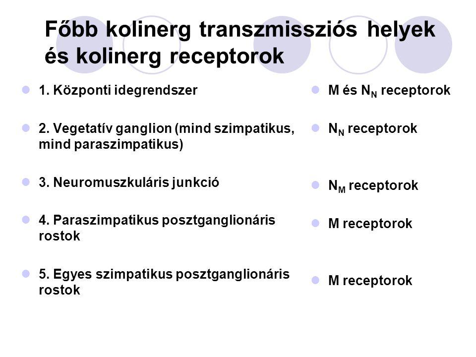 Nikotinos acetilkolin receptorok Kation-szelektív ioncsatorna (Na + ) Két fő típusa:  N N, neuronális -  és  alegységek  N M, muszkuláris - pentamér:(    ) 2 2 acetilkolin molekula szükséges Folyamatosan nem ingerelhető  depolarizációs blokk jön létre