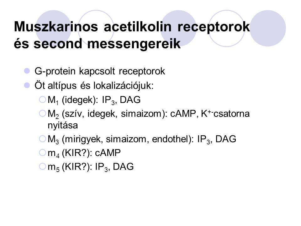 Muszkarinos acetilkolin receptorok és second messengereik G-protein kapcsolt receptorok Öt altípus és lokalizációjuk:  M 1 (idegek): IP 3, DAG  M 2 (szív, idegek, simaizom): cAMP, K +- csatorna nyitása  M 3 (mirigyek, simaizom, endothel): IP 3, DAG  m 4 (KIR?): cAMP  m 5 (KIR?): IP 3, DAG