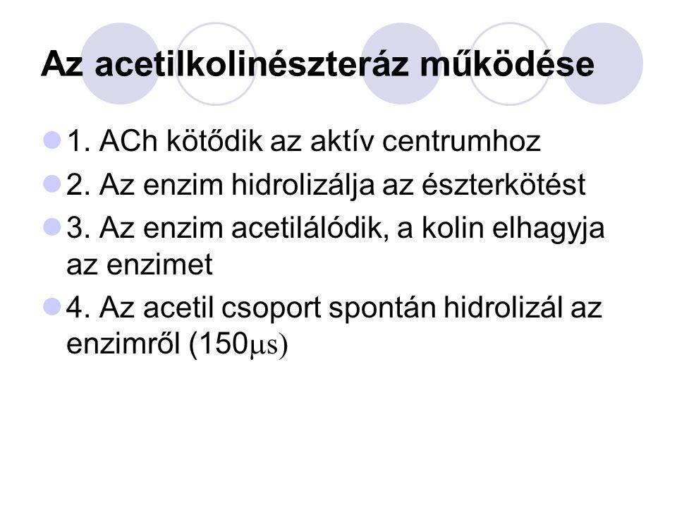 Az acetilkolinészteráz működése 1.ACh kötődik az aktív centrumhoz 2.