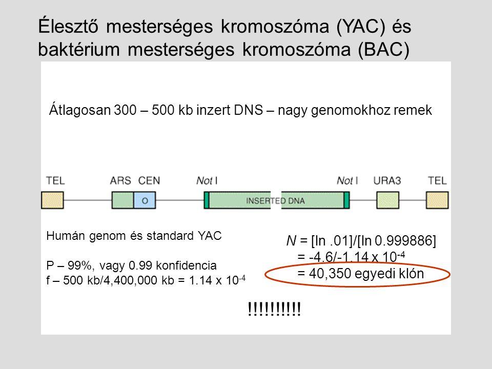 Átlagosan 300 – 500 kb inzert DNS – nagy genomokhoz remek Élesztő mesterséges kromoszóma (YAC) és baktérium mesterséges kromoszóma (BAC) N = [ln.01]/[ln 0.999886] = -4.6/-1.14 x 10 -4 = 40,350 egyedi klón Humán genom és standard YAC P – 99%, vagy 0.99 konfidencia f – 500 kb/4,400,000 kb = 1.14 x 10 -4 !!!!!!!!!!