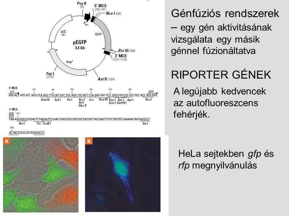 Génfúziós rendszerek – egy gén aktivitásának vizsgálata egy másik génnel fúzionáltatva RIPORTER GÉNEK HeLa sejtekben gfp és rfp megnyilvánulás A legújabb kedvencek az autofluoreszcens fehérjék.