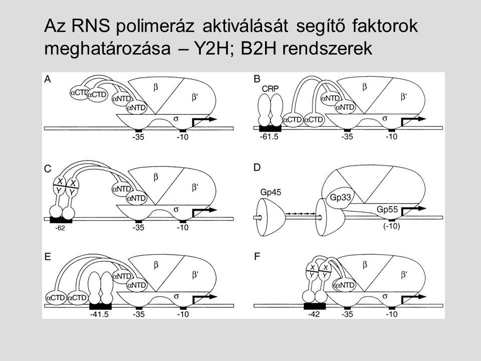 Az RNS polimeráz aktiválását segítő faktorok meghatározása – Y2H; B2H rendszerek