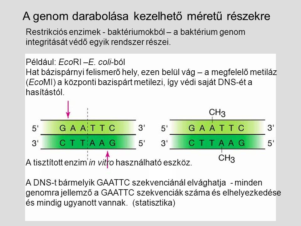 Restrikciós enzimek - baktériumokból – a baktérium genom integritását védő egyik rendszer részei.