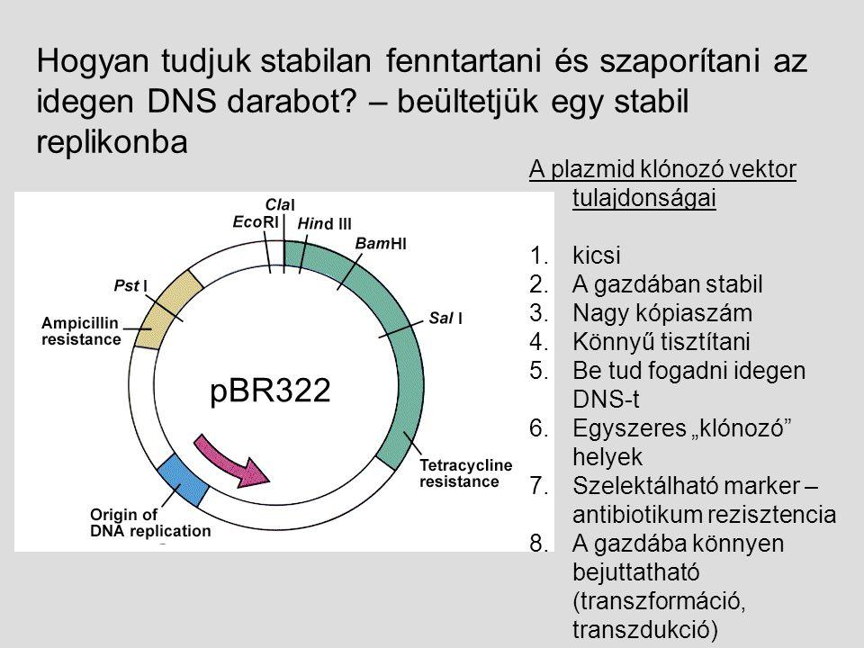 """A plazmid klónozó vektor tulajdonságai 1.kicsi 2.A gazdában stabil 3.Nagy kópiaszám 4.Könnyű tisztítani 5.Be tud fogadni idegen DNS-t 6.Egyszeres """"klónozó helyek 7.Szelektálható marker – antibiotikum rezisztencia 8.A gazdába könnyen bejuttatható (transzformáció, transzdukció) Hogyan tudjuk stabilan fenntartani és szaporítani az idegen DNS darabot."""