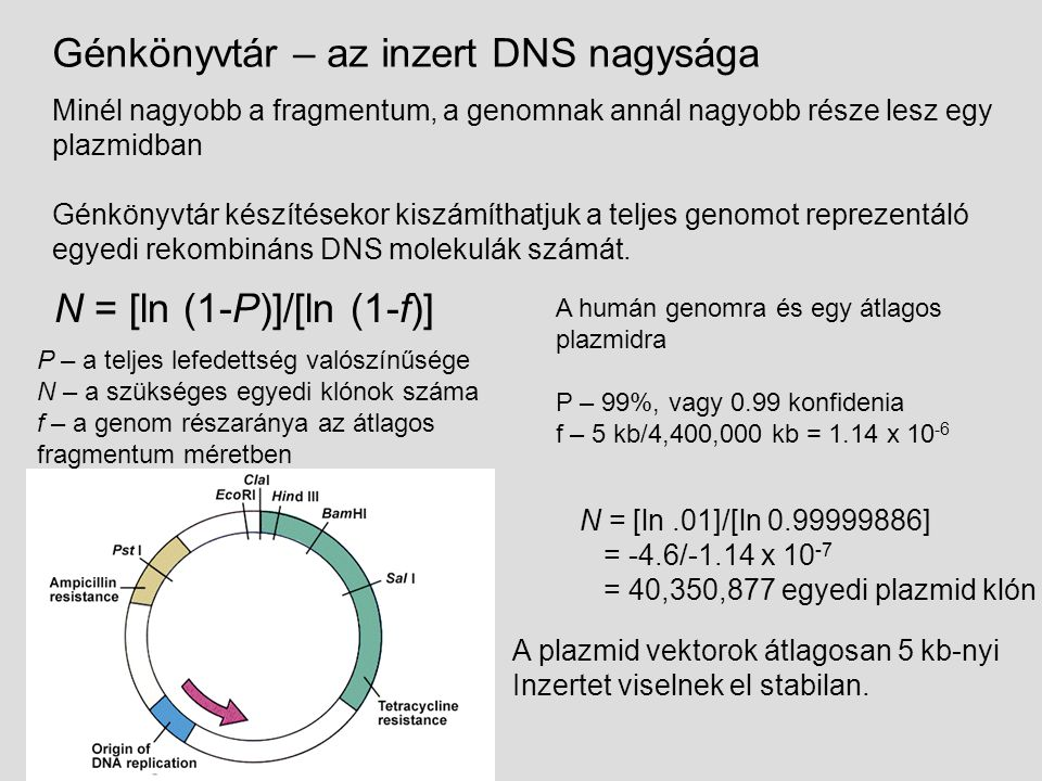 Nagyobb inzertek mint a plazmidokban – bevitel fágfertőzéssel 20 – 35 kb inzertek A bakteriofág/cosmid vektorok nagyobb inzertet képesek befogadni N = [ln.01]/[ln 0.99999205] = -4.6/-7.95 x 10 -6 = 578, 616 egyedi klón Humán genom és standard fágvektor P – 99%, vagy 0.99 konfidencia f – 35 kb/4,400,000 kb = 7.95 x 10 -6 Nagy előrelépés!