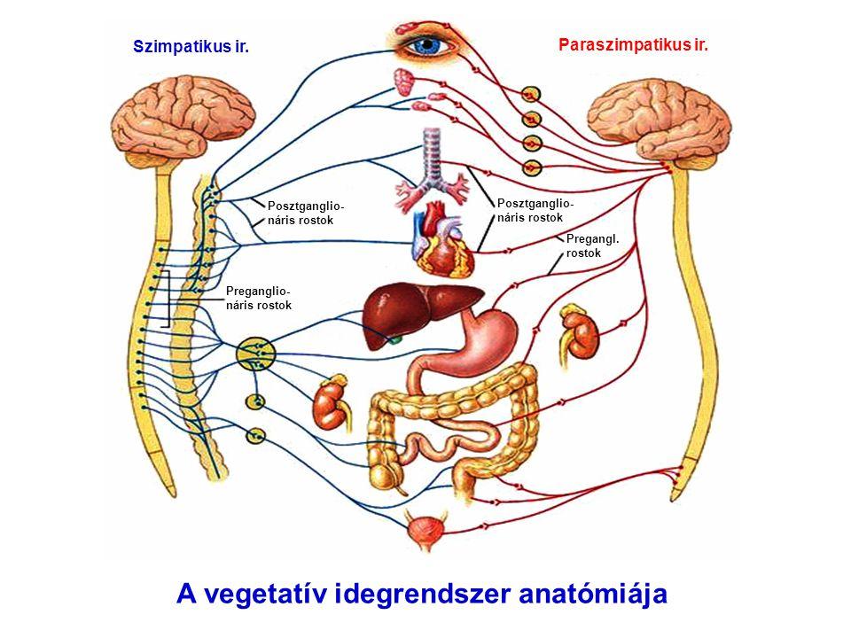 A vegetatív idegrendszer anatómiája Szimpatikus ir. Paraszimpatikus ir. Preganglio- náris rostok Pregangl. rostok Posztganglio- náris rostok