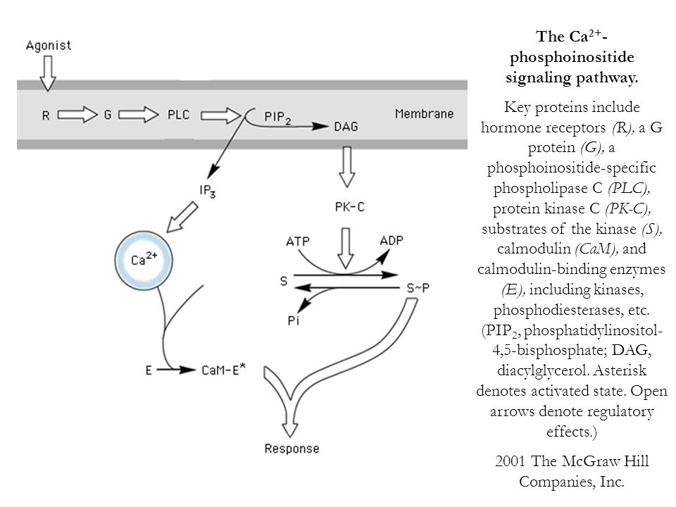 The Ca 2+ - phosphoinositide signaling pathway. Key proteins include hormone receptors (R), a G protein (G), a phosphoinositide-specific phospholipase