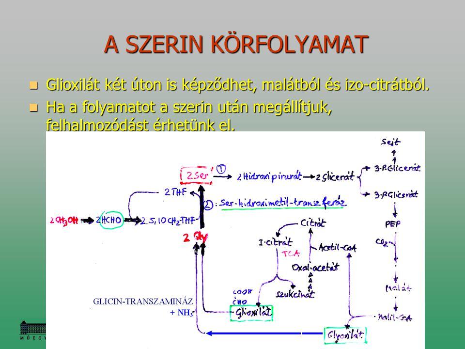 A SZERIN KÖRFOLYAMAT A SZERIN KÖRFOLYAMAT Glioxilát két úton is képződhet, malátból és izo-citrátból. Glioxilát két úton is képződhet, malátból és izo