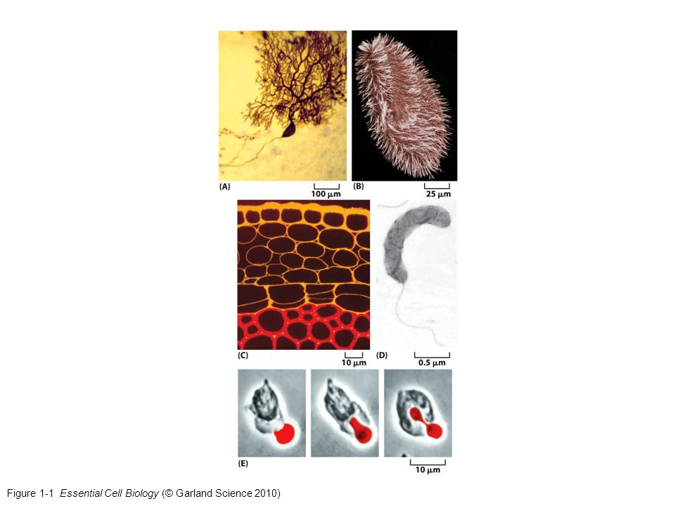 Figure 1-21 Essential Cell Biology (© Garland Science 2010)