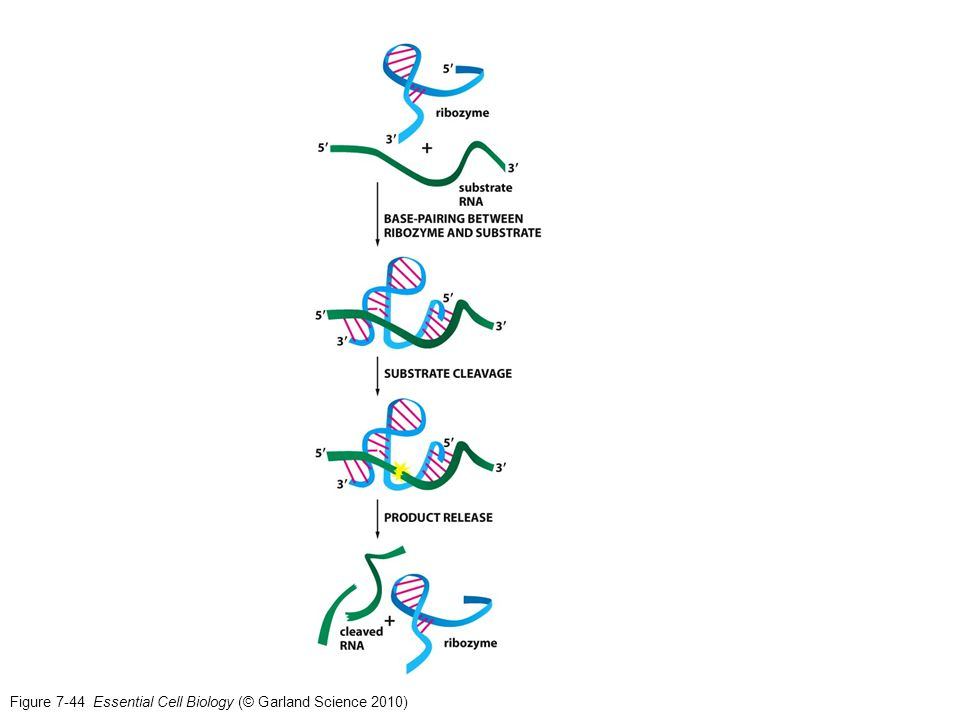 Figure 7-44 Essential Cell Biology (© Garland Science 2010)