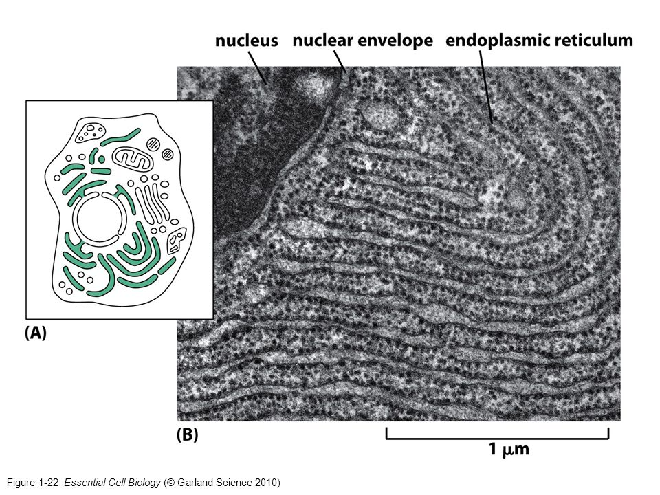 Figure 1-22 Essential Cell Biology (© Garland Science 2010)