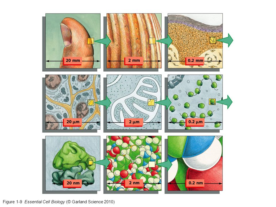 Figure 1-29 Essential Cell Biology (© Garland Science 2010)