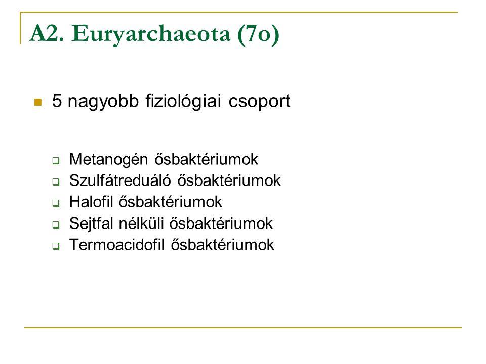 5 nagyobb fiziológiai csoport  Metanogén ősbaktériumok  Szulfátreduáló ősbaktériumok  Halofil ősbaktériumok  Sejtfal nélküli ősbaktériumok  Termo