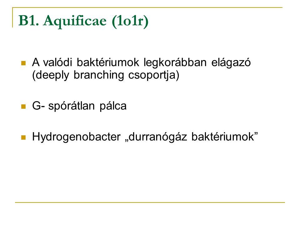 """A valódi baktériumok legkorábban elágazó (deeply branching csoportja) G- spórátlan pálca Hydrogenobacter """"durranógáz baktériumok"""" B1. Aquificae (1o1r)"""