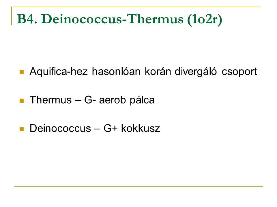 B4. Deinococcus-Thermus (1o2r) Aquifica-hez hasonlóan korán divergáló csoport Thermus – G- aerob pálca Deinococcus – G+ kokkusz