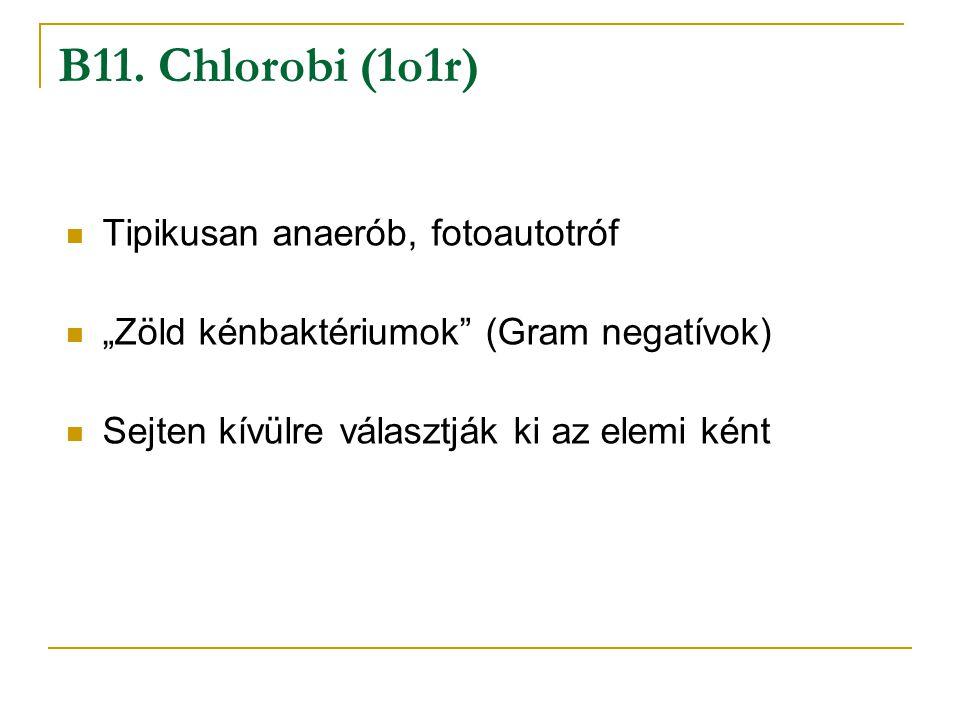 """Tipikusan anaerób, fotoautotróf """"Zöld kénbaktériumok"""" (Gram negatívok) Sejten kívülre választják ki az elemi ként B11. Chlorobi (1o1r)"""