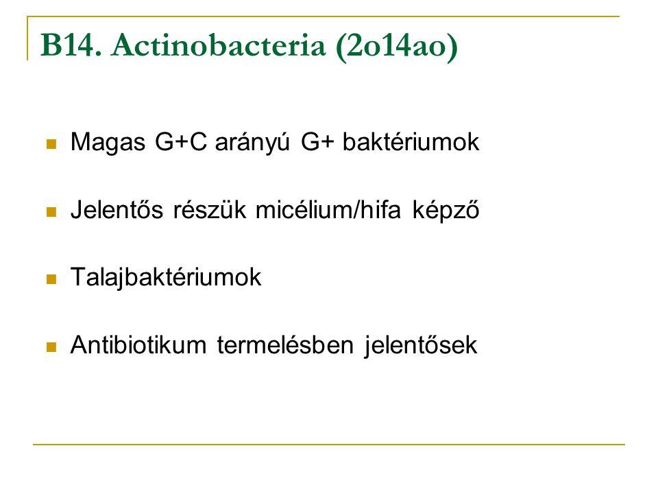 Magas G+C arányú G+ baktériumok Jelentős részük micélium/hifa képző Talajbaktériumok Antibiotikum termelésben jelentősek B14. Actinobacteria (2o14ao)