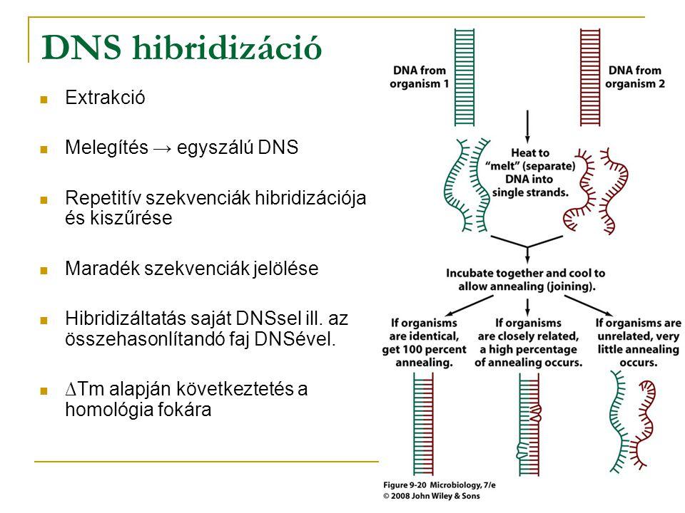 DNS hibridizáció Extrakció Melegítés → egyszálú DNS Repetitív szekvenciák hibridizációja és kiszűrése Maradék szekvenciák jelölése Hibridizáltatás saj