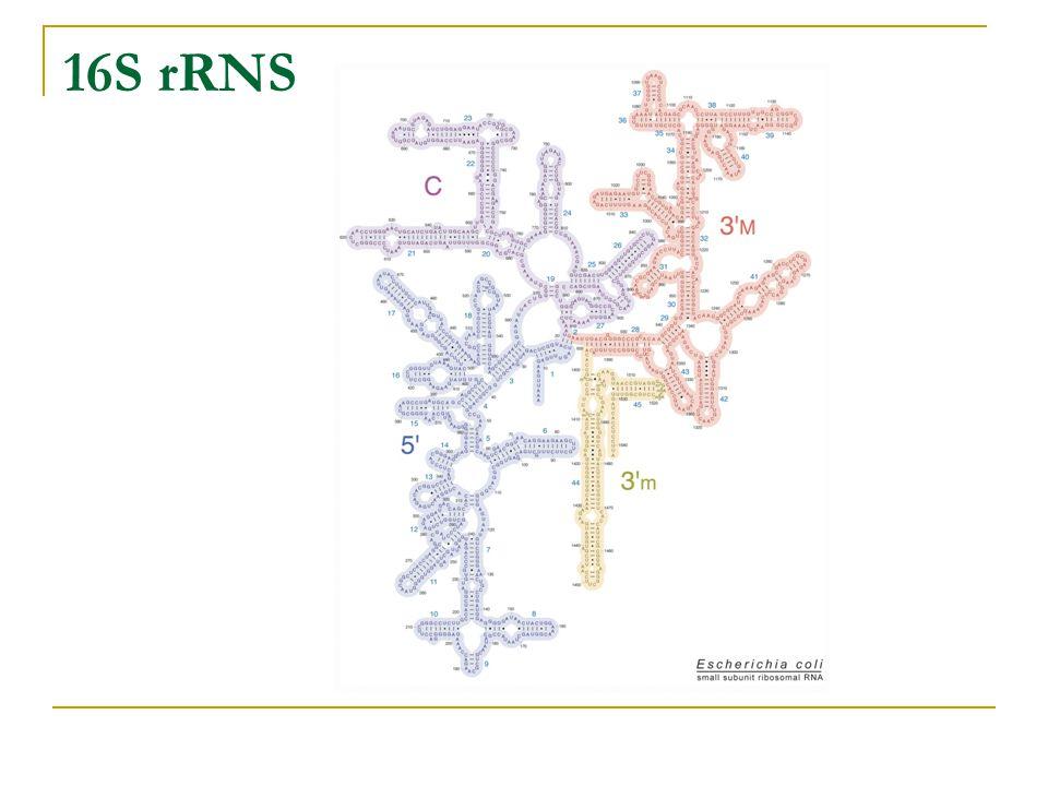B12.2 Betaproteobacteria Fontosabb rendek: Neisseriales Nitrosomonadales