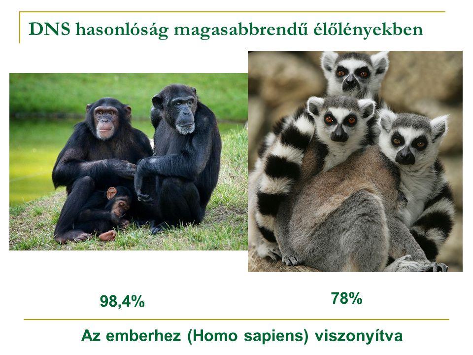 DNS hasonlóság magasabbrendű élőlényekben 98,4% 78% Az emberhez (Homo sapiens) viszonyítva